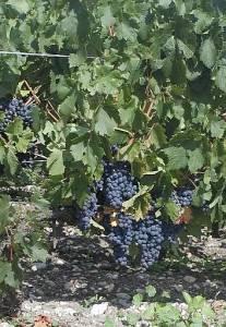 2004_Medoc blauschwarze Trauben